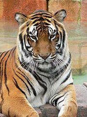 220px-Panthera tigris7