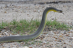 300px-Coluber constrictor flaviventris (1)