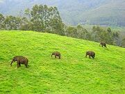 220px-WildElephants,Munnar