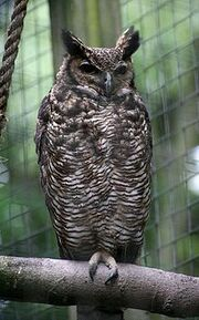 220px-Bubo virginianus nacurutu - Otter, Owl, and Wildlife Park