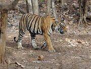 220px-Ranthambore Tiger