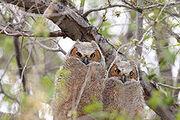 220px-Bubo virginianus -near Tule Lake National Wildlife Refuge, Oregan, USA -juvenile-8