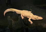 250px-Albino Alligator 2008