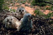 220px-Great horned owl chick 3w