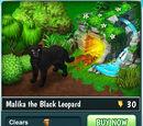 Malika the Black Leopard