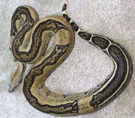 Boa Constrictor Animal World Wiki Fandom