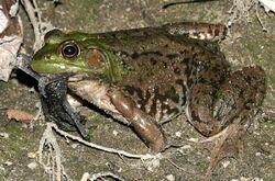 Bullfrog with Bat