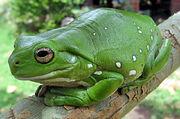 Australian Green Tree Frog.jpg