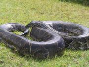 Burmese Python.jpg