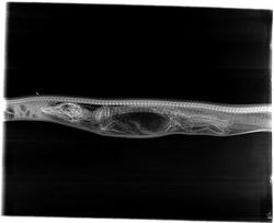 Burmese Python digesting American Alligator