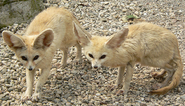Twin Fennec Foxes