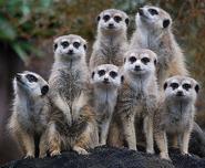 7 Meerkat Gangs