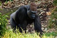 Gorille de l'Ouest001