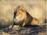 Lion d'Afrique
