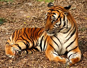Tigre de Chine méridionale