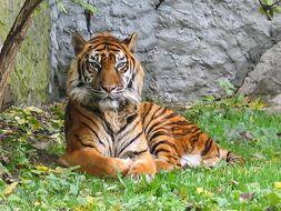 Tigre du Sumatra