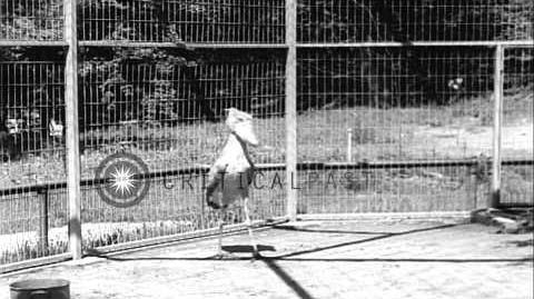 Rare Shoebill in National Zoo