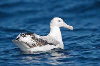 Albatros hurleur0