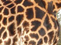 Pelage girafe