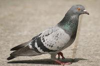 Pigeon0001