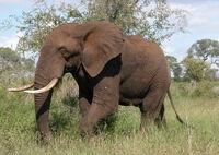 Éléphant d'Afrique1