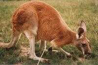 Kangourou roux0001