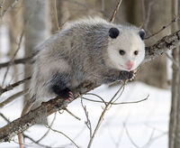 Opossum de Virginie1