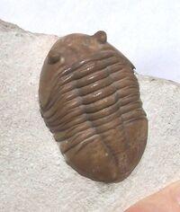 Asaphus lepidurus1