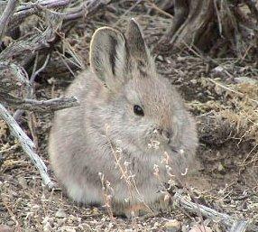Lapin pygmée de l'Idaho