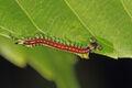 Centipède à Agumbe (Inde).jpg