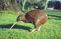 Kiwi0