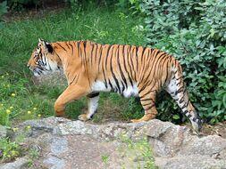 Tigre d'Indochine