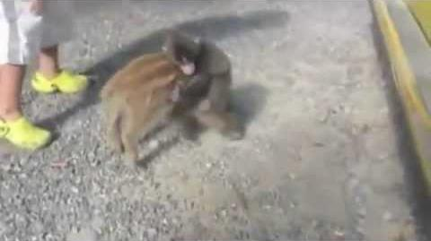 Baby monkey riding on a pig!