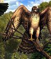 Northern Harrier (Ax).jpg