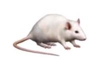 Rat book 22 cover morph