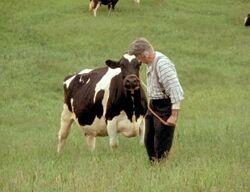 Matthew und eine Kuh