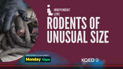 KQED 9 - Independent Lens, Rodents Of Unusual Size - Monday promo for January 14, 2019