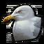 California gull 0