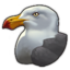 Pacific gull 0