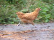 Chicken043