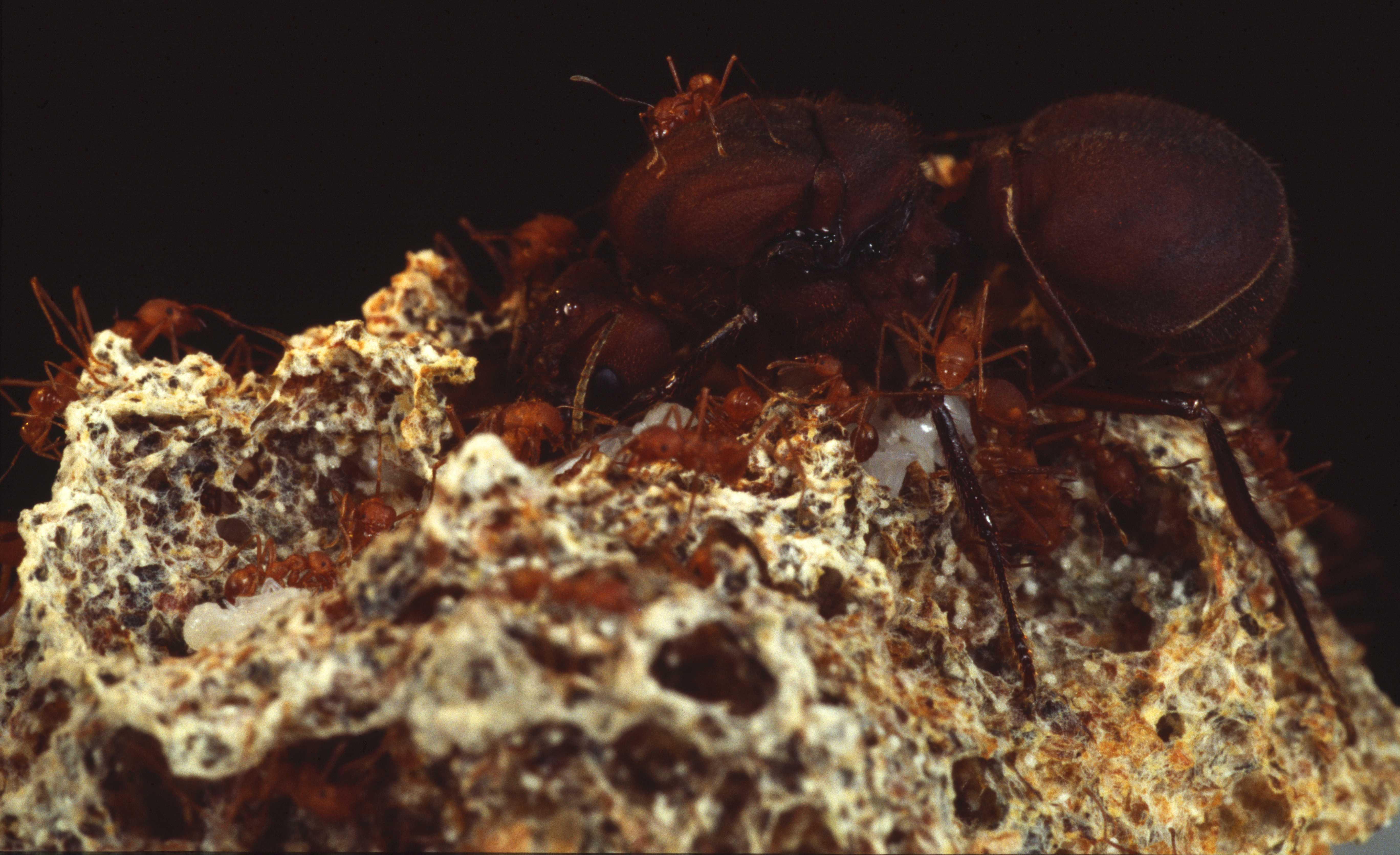 Queen Ant | Ants Wiki | FANDOM powered by Wikia