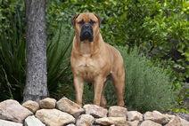 Bullmastiff-dogs-puppies-9