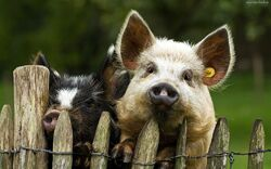 Dwie swinie plotbyAnka01
