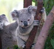 245px-Cutest Koala