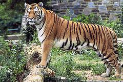 240px-Panthera tigris tigris edited2