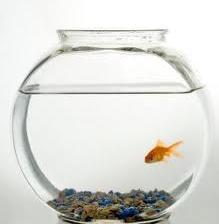 File:Garry The Goldfish.jpg
