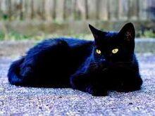 6 kucing hitam