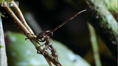 Cordyceps attack of the killer fungi - Planet Earth Attenborough BBC wildlife