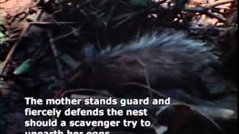 Lost Tapes Season 1 Episode 4 - Swamp Creature