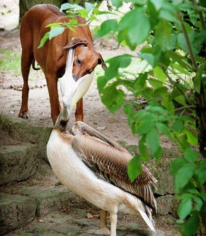 File:Dog-and-pelican.jpg